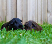 What to feed your Guinea Pigs